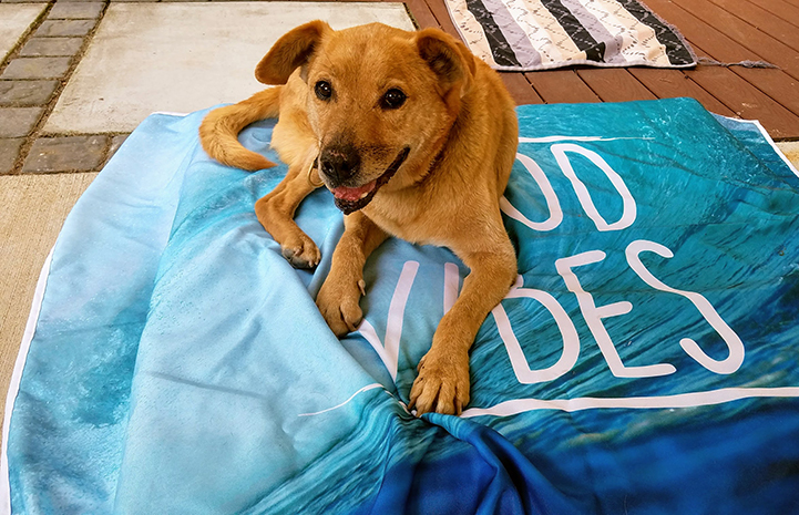 Houdini the dog lying on a Good Vibes blanket