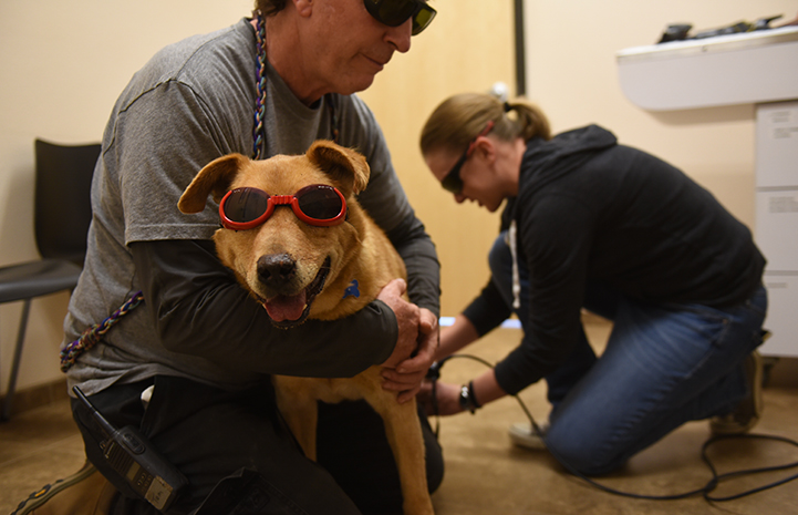 Houdini the dog, wearing protective glasses, getting a laser treatment