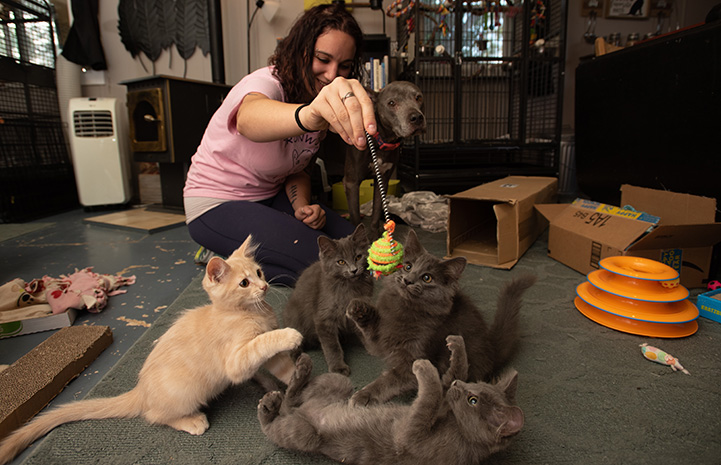 Woman playing with a litter of kittens that she is fostering