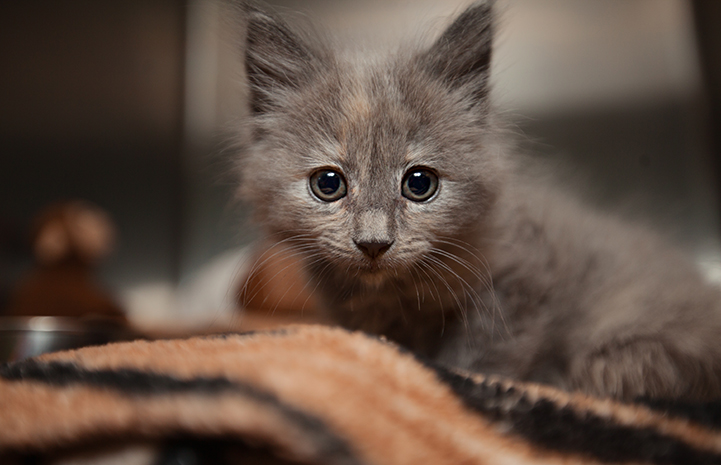 Rogue, the dilute tortoiseshell kitten on a blanket in a kennel