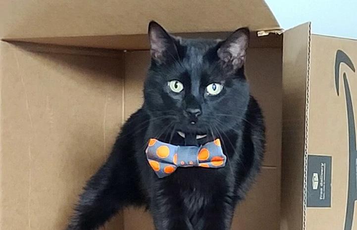Ori the cat in a cardboard box wearing a bow tie