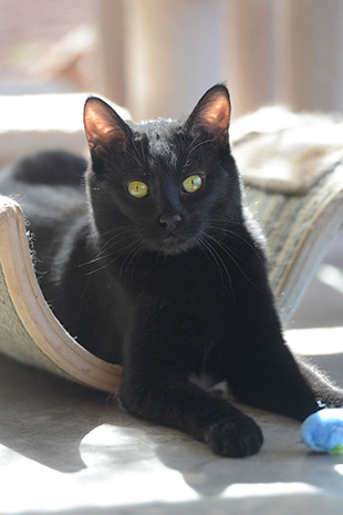 Ori the black cat lying in a piece of cat furniture