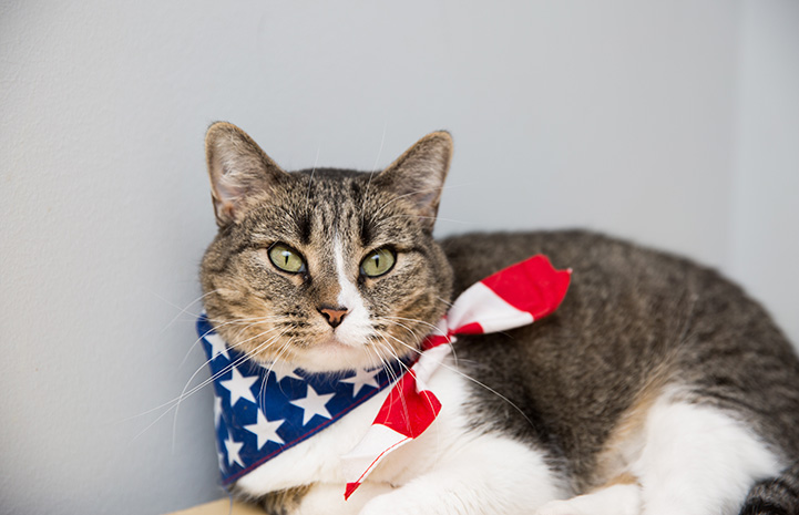 Brown tabby and white cat wearing a red, white and blue American flag bandanna