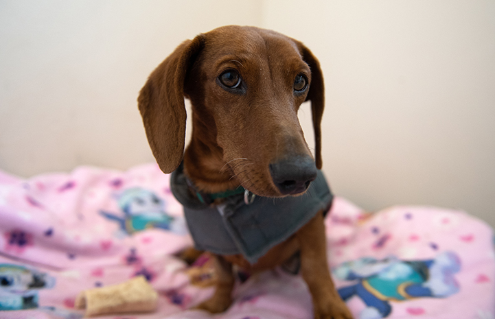 Dachshund Shorty wearing a gray outfit standing on an blanket