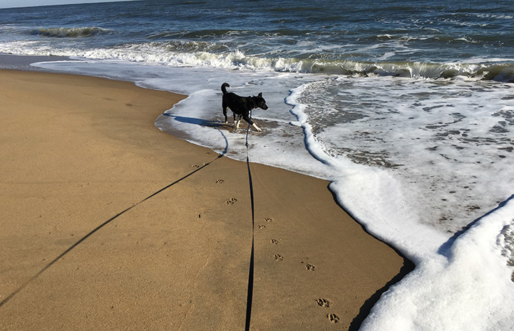 Kassidy the dog walking on a long leash at the beach strolling in the surf