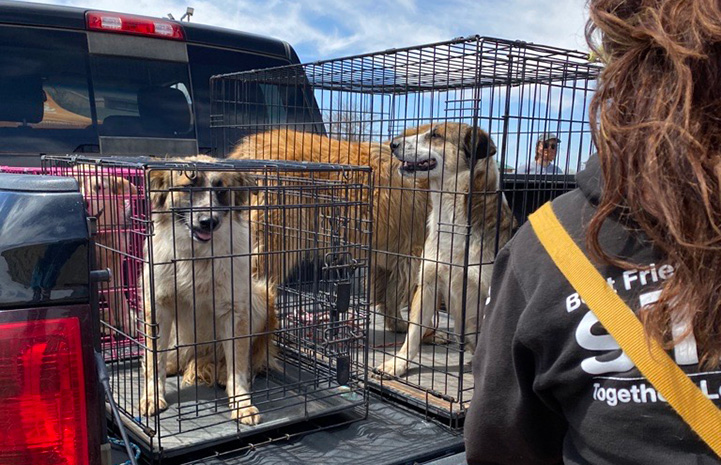 Three dogs in wire crates in the back of a pickup truck waiting to get vaccinated