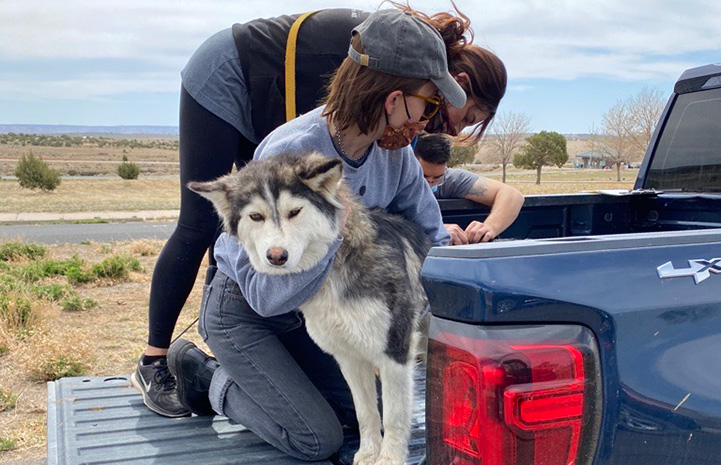 Two people in the back of a pickup truck giving a vaccination to a husky type dog