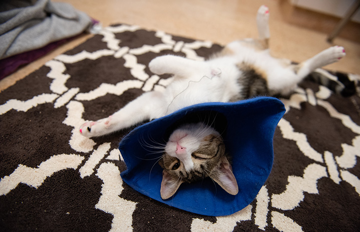 Bubbles the cat with Ehlers-Danlos syndrome, lying upside-down on a rug and wearing a blue cloth cone