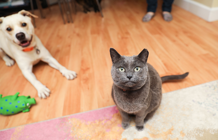 Reduce your dog's reaction to the cat by gradually increasing her exposure to him