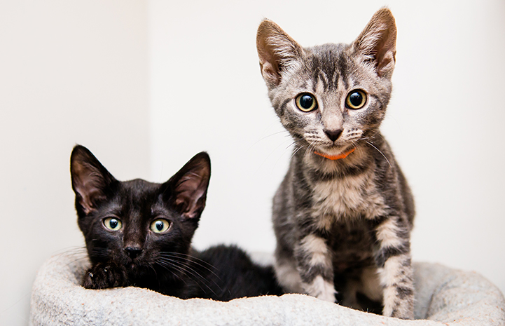 Increase the likelihood that your new cat will get along with the existing cat(s) in your household with these tips. These two kittens are best friends.