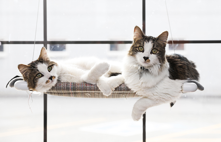 Two cats lounging in a window bed together. There are steps you can take to reduce the likelihood of problems when introducing one cat to another.