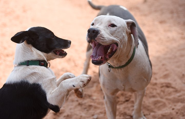 Two dogs playing and panting