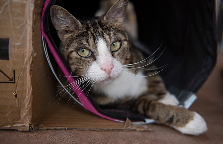 Pendleton the cat lying in a tunnel with his paw sticking out