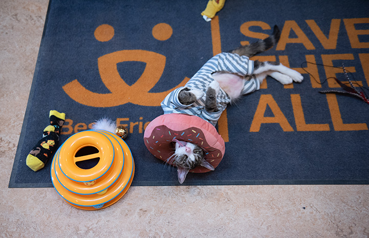 Pendleton the cat lying upside down on a Best Friends Save Them All rug while wearing a donut around his neck and pajamas