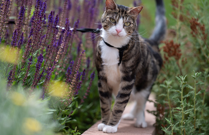 Pendleton the cat wearing a harness, outside for a walk on a leash