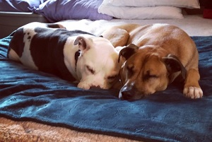 Dogs snuggling and sleeping in adopted home