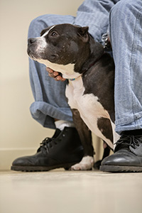 Black and white pit bull type dog with cropped ears sitting between the legs of a person who is petting him