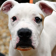 Adopt Keanu the dog available for adoption from New York