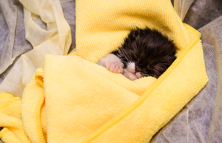 Sleeping black and white kitten swaddled in a yellow cloth