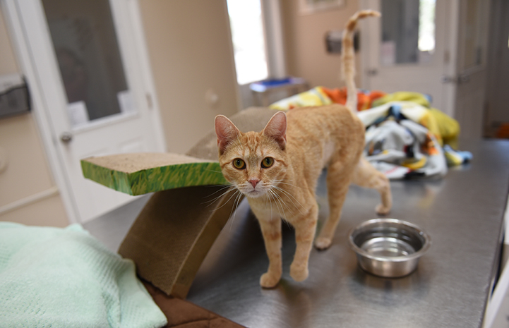 Odette, the orange tabby kitten on a stainless steel counter next to a water bowl and cardboard scratcher