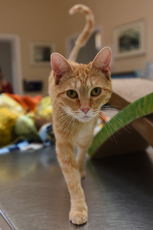 Odette, the orange tabby kitten walking straight toward the camera with her tail shaped like a question mark