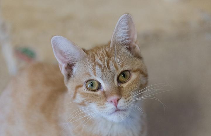 The face of Odette, the orange tabby kitten