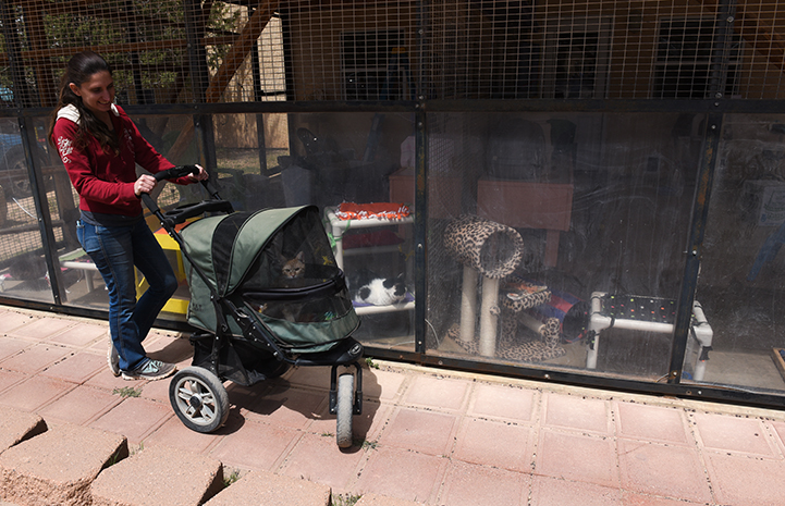 Woman pushing stroller containing Odette, the tabby kitten, around Cat World