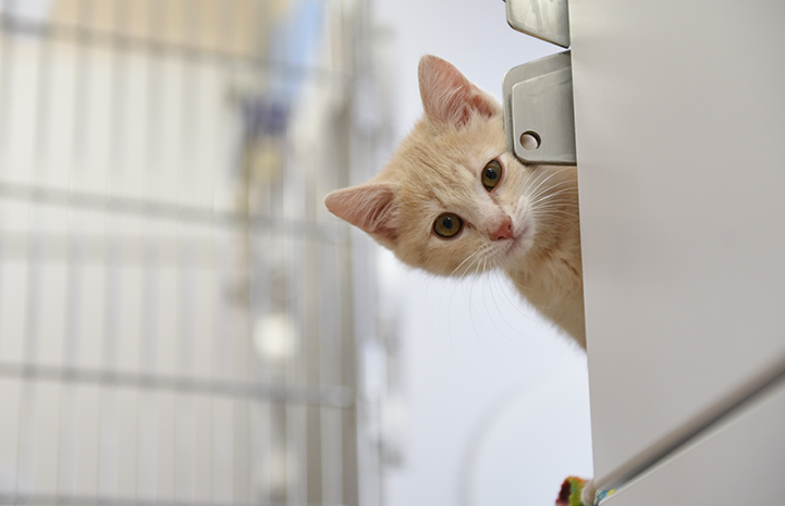 Overdrive the cream tabby kitten peeking out from behind a kennel