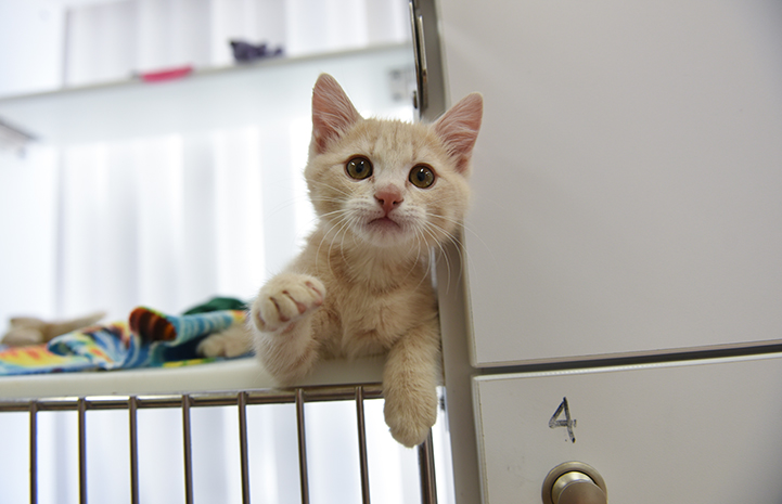 Overdrive the cream tabby kitten reach out toward the camera from inside a kennel