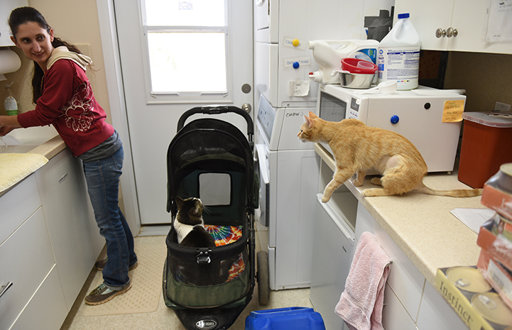 Odette, the orange tabby kitten on a counter with a caregiver and another cat in a stroller by a door