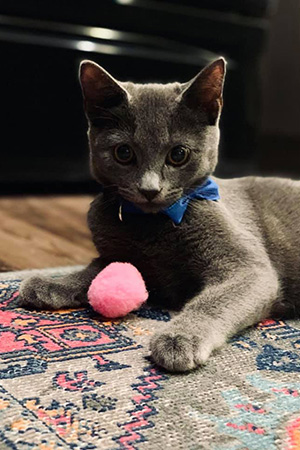 Shinji the kitten wearing a blue bow tie and lying on the floor with a small pink toy ball between his front legs