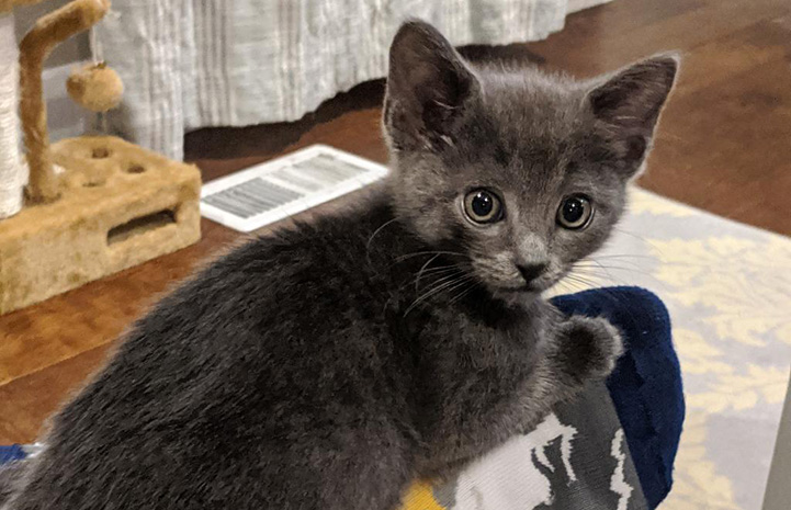 Shinji the gray kitten looking over his shoulder toward the camera