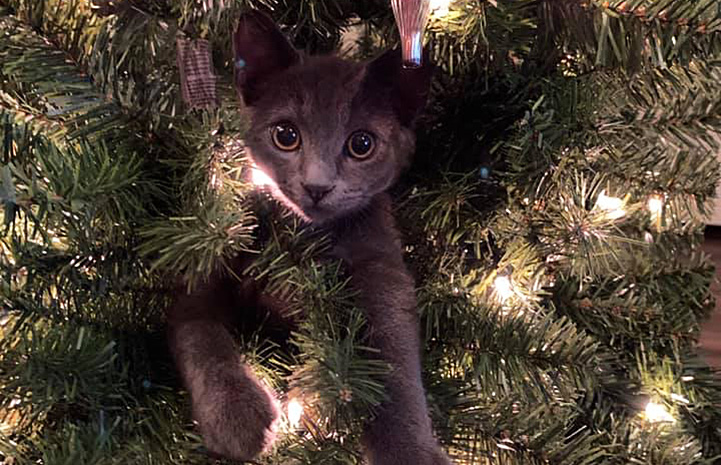 Shinji the kitten's head poking out from inside a Christmas tree