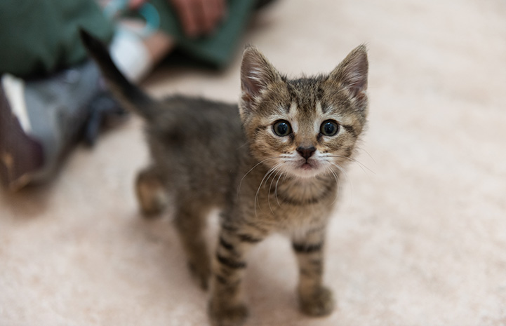 Brown tabby kitten Xactly