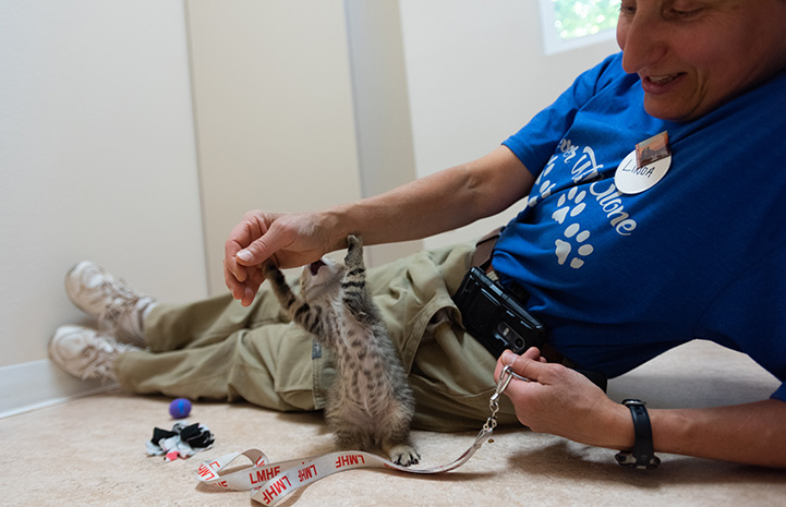 Linda the volunteer playing with Xactly the brown tabby kitten