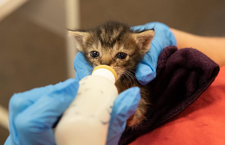 Neonatal tabby kitten drinking from a bottle