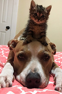Kitten lying on the head of a pit bull terrier