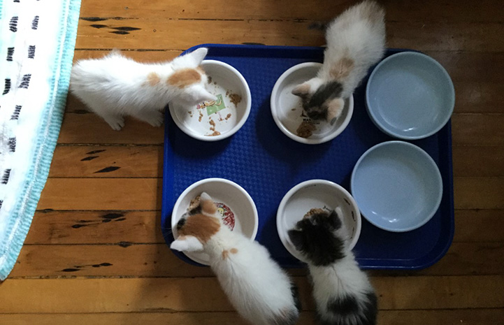 Four kittens eating out of separate bowls