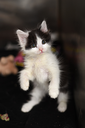 Oboe the black and white kitten up on his hind legs
