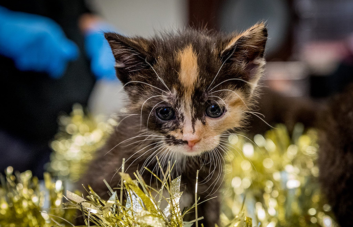 Small calico kitten surrounded by gold tinsel