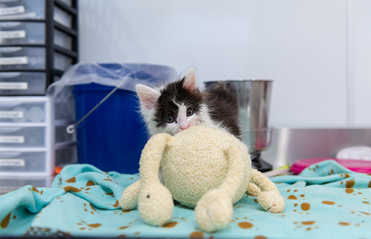 Oboe the fluffy black and white kitten hiding behind a stuffed animal in his kennel