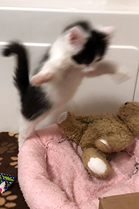 Oboe the kitten pouncing on a stuffed teddy bear