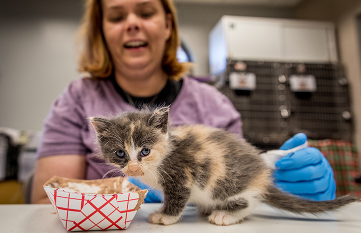Small calico kitten who had just been eating gruel out of a paper tray with a smiling woman behind her