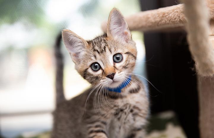 Brown tabby kitten wearing a blue collar next to a cat tree