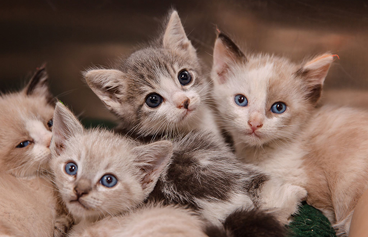 Litter of four adorable kittens with blue eyes