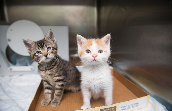 Hank and Radar, tabby and orange and white kittens, sitting in a cardboard flat in a kennel