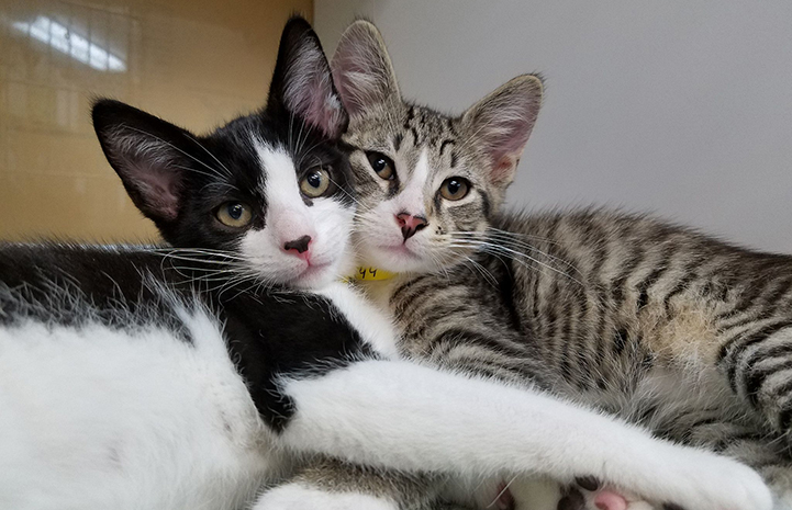 A pair of kittens, one black and white and one gray tabby, snuggling with their faces pressed together, from the Jacksonville Humane Society