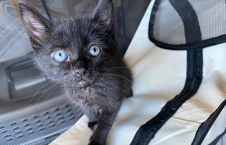 Trixie the black kitten standing up and looking directly at the camera