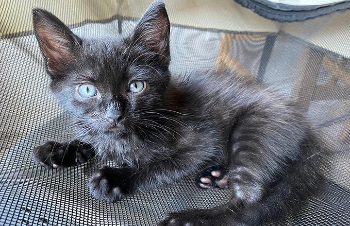 Trixie, a little black kitten, lying down