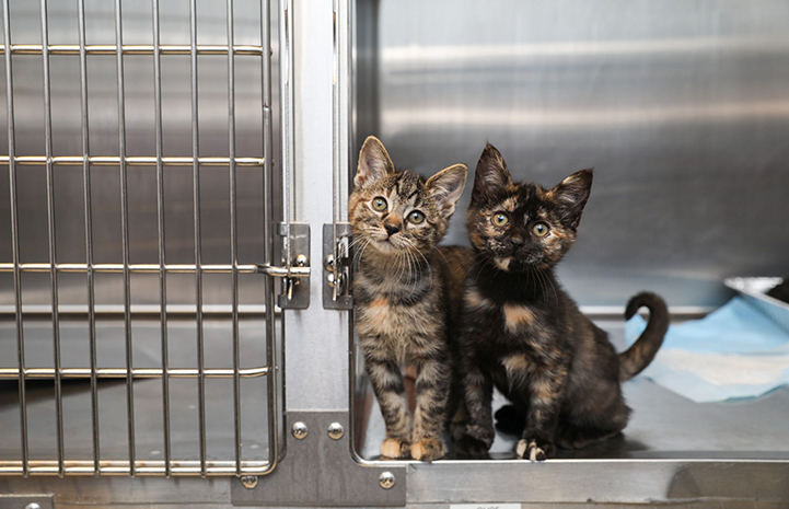 A torbie and tortoiseshell kitten looking out from inside a stainless steel kennel